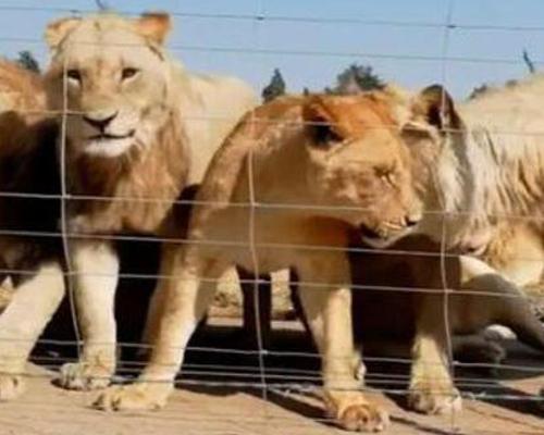 Leones criados para ser cazados: una industria cruel