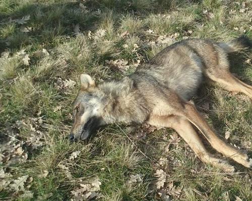 Hallan los cadáveres de tres lobos muertos en Galicia