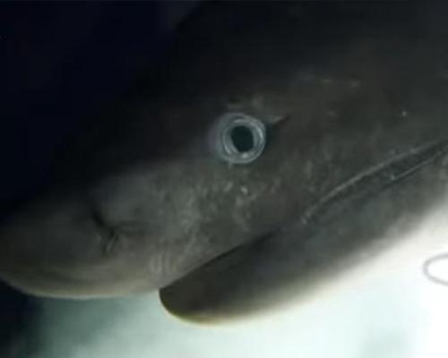 Graban un tiburón que no ha cambiado en 200 millones de años