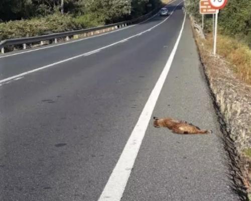 Fallece atropellado otro lince ibérico en Huelva