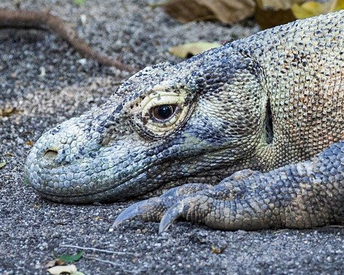 El dragón de Komodo, en grave peligro de extinción