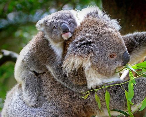 Los koalas desaparecerán del este de Australia en 2050