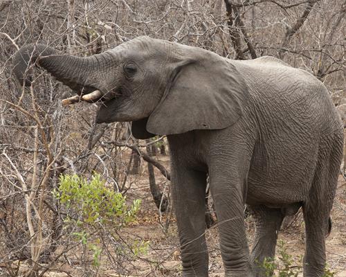 Un cazador ilegal muere aplastado por una estampida de elefantes