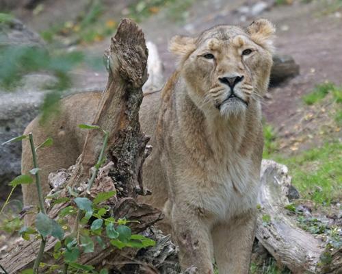 Ocho leones de un zoo de India dan positivo en coronavirus