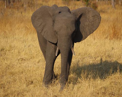Zimbabue vende 32 crías de elefantes en secreto