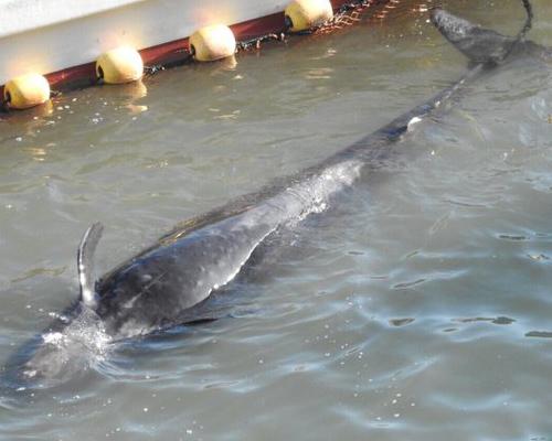 Estos delfines se frotan consolándose antes de morir