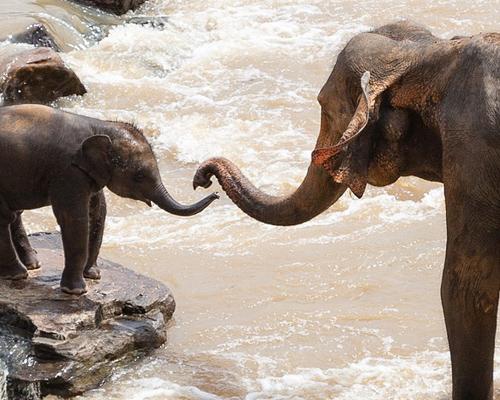 Mueren siete elefantes envenenados en Sri Lanka