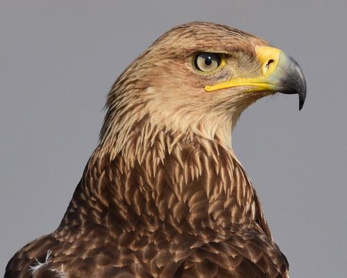 Investigan a un guarda rural por abatir a un águila imperial ibérica