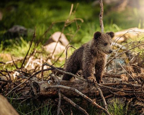 Crece la población del oso pardo en el Pirineo
