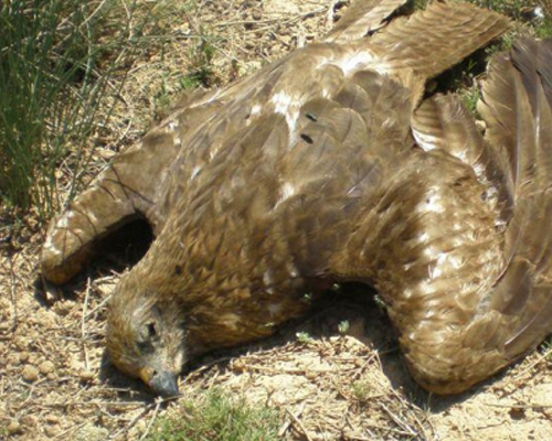 Dos años de cárcel por envenenar a 138 aves rapaces
