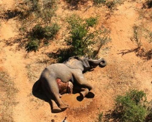 Desvelan la causa de la muerte de 330 elefantes en Botsuana
