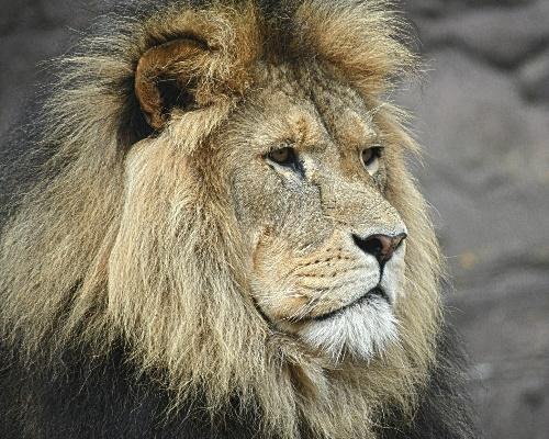 Los leones del zoo de Barcelona dan positivo en COVID-19