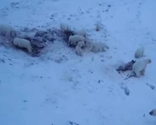 60 osos polares permanecen atrapados en un pueblo ruso