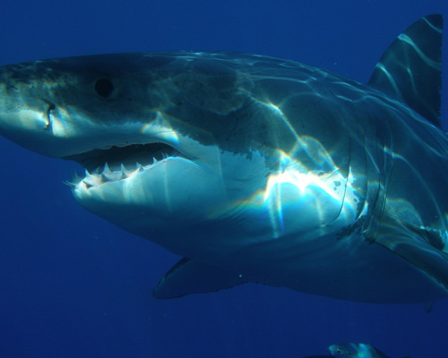 Regresa Katharine, la gran hembra de tiburón blanco desaparecida