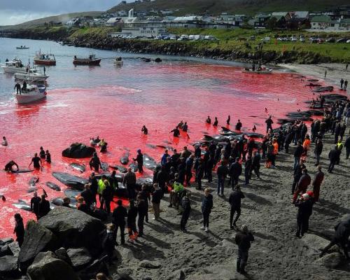 Masacre en Feroe: más de 200 cetáceos asesinados