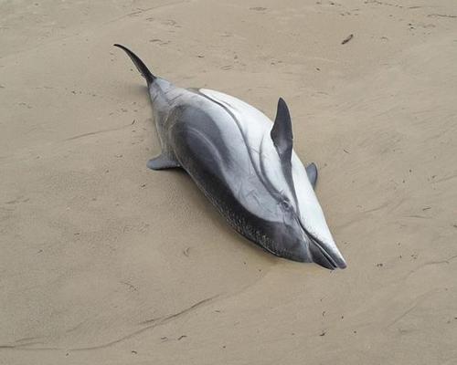 Aparecen 14 delfines muertos en Cantabria