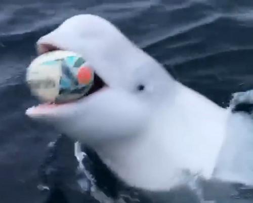 ¿Qué esconde la beluga que juega al rugby?