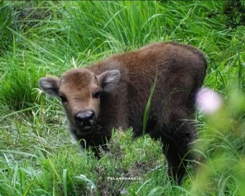 El regreso del bisonte al norte de España