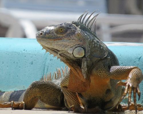 Lluvia de iguanas en Florida por baja temperatura