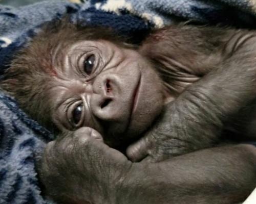 Nace en Boston un gorila en peligro de extinción