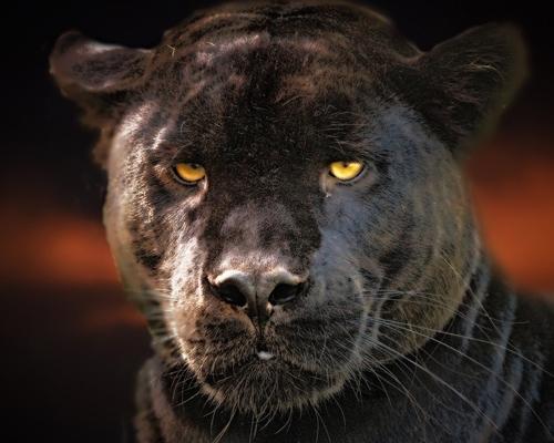 ¿Sabías que la pantera negra no es una especie única?