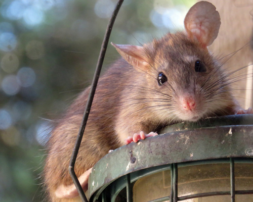 Alertan de la presencia de ratas negras en el centro de Madrid