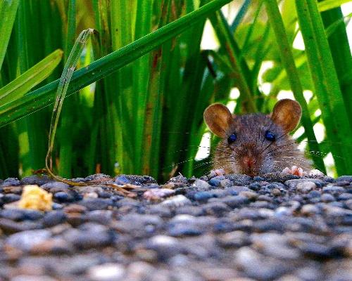 Madrid detecta una veintena de focos de ratas negras