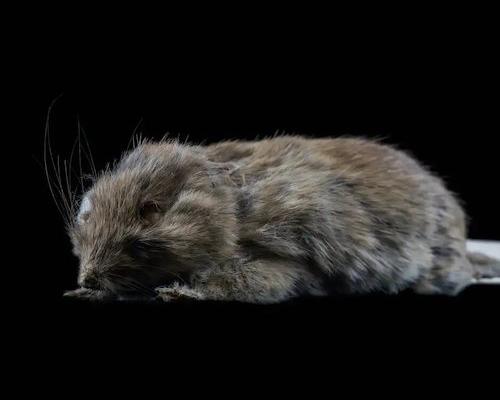 Hallan un ratón que se creía extinto hace más de 150 años