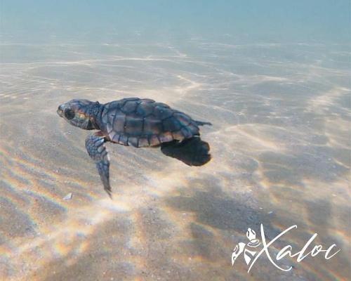 ¿Qué debo hacer si veo una tortuga en la playa?
