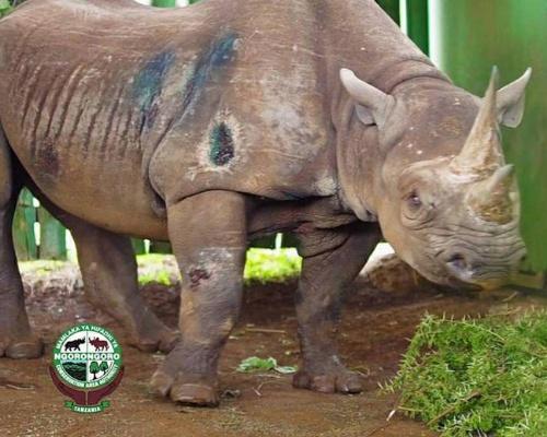 Muere Fausta, la rinoceronte más vieja del mundo