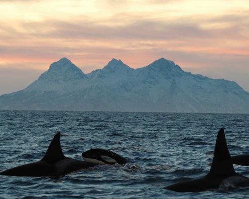 ¿Sabías que la orca es la gran matriarca del océano?