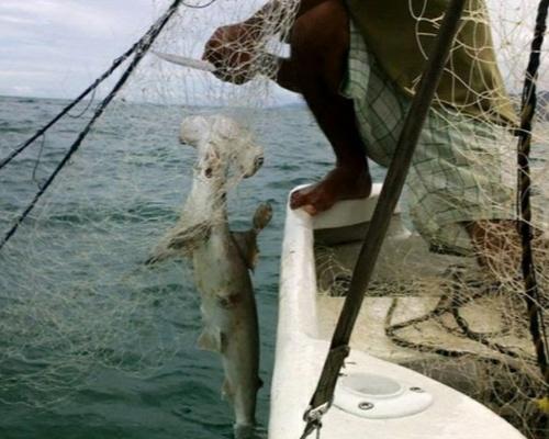 Denuncian la pesca masiva de tiburones martillo en Panamá