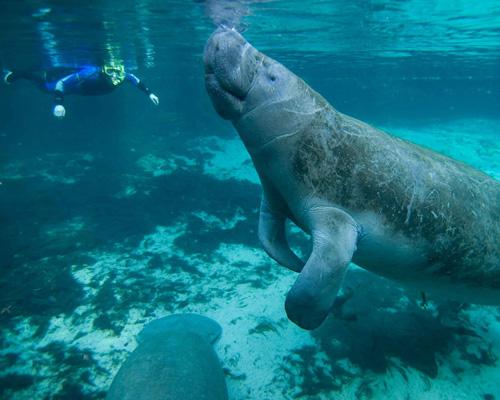 Graban a 200 manatíes y delfines tomando el sol en Florida