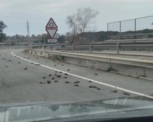 Un vehículo arrolló a los estorninos de Tarragona