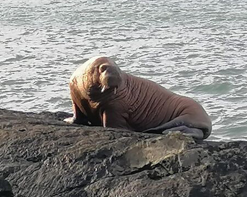 Una morsa ártica aparece en la costa oeste de Irlanda
