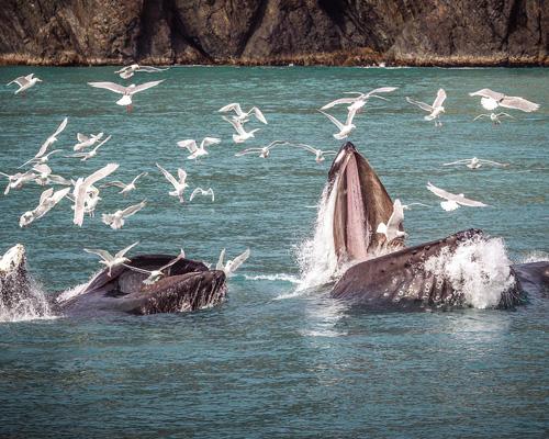Crece la población de ballenas jorobadas