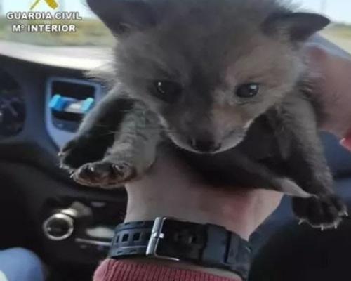 Rescatan a una cría de zorro a la venta por 550 euros