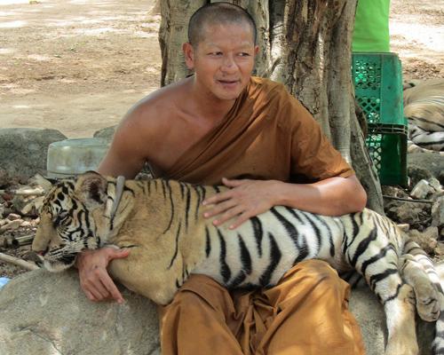 Mueren 86 tigres que fueron rescatados en Tailandia