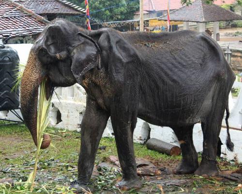Muere Tikiri, la elefanta desnutrida de 70 años