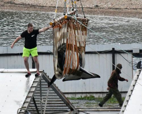 Liberadas las orcas de la cárcel rusa de ballenas