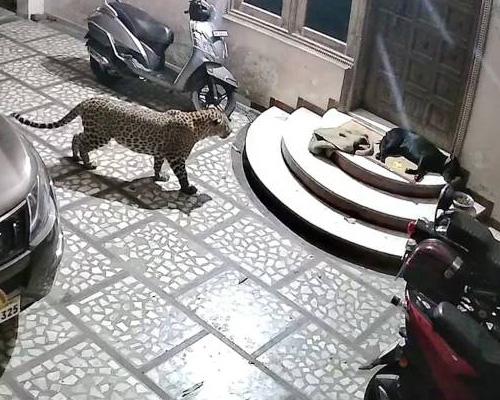 Un leopardo ataca a un perro en el rellano de su casa
