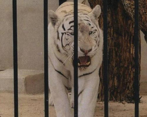 Un tigre blanco vive en un chalé de Alicante
