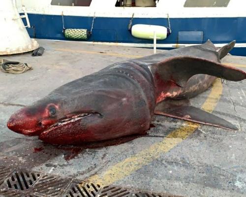 Pescan por error un tiburón peregrino en Tarragona