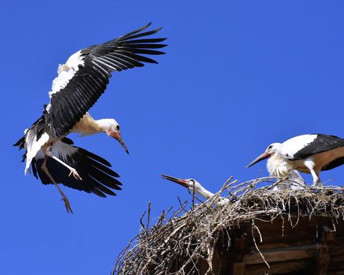 ¿Por qué ya no emigran algunas cigüeñas blancas?