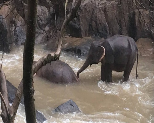 Once elefantes mueren tras despeñarse en Tailandia