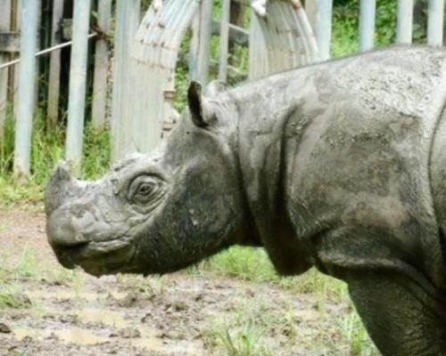 Extinto en Malasia el rinoceronte de Sumatra