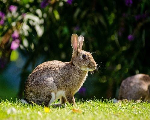 El conejo europeo está en peligro de extinción