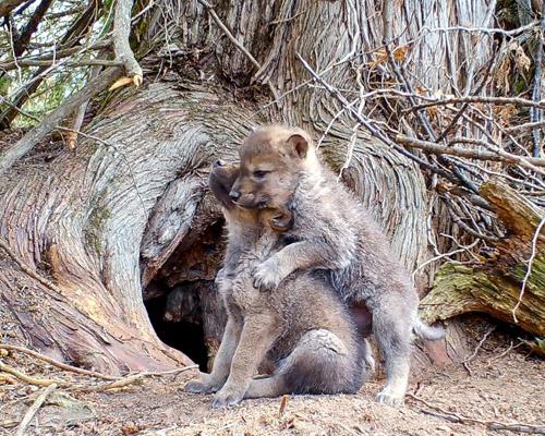 ¿Has escuchado los primeros aullidos de un pequeño lobo?