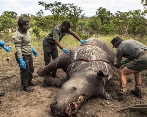 Los rinocerontes desaparecerán de Botsuana