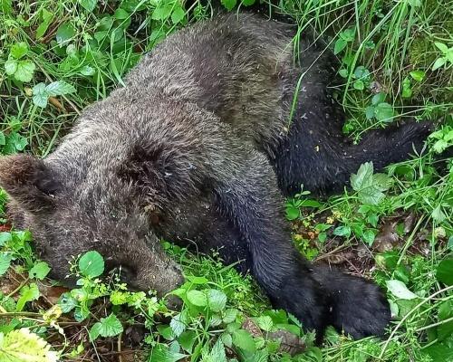 Aparece el cadáver de un oso joven en Asturias